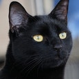 foto van een zwarte panter