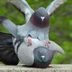 foto van vrijende duiven