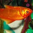 OMG! Een oranje geverfde vis!
